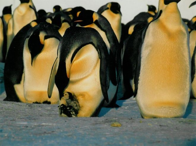 27 Amazing Penguin Species From Around The World